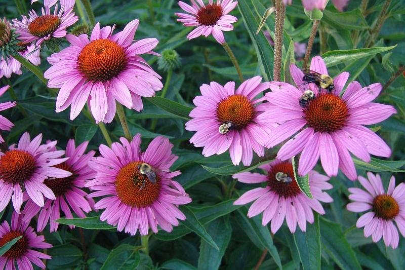 Planten Voor Bijen.Zomerbloeiers Natuur Milieuteam Zuid